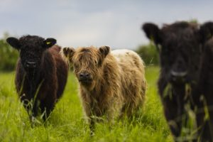 Galloway Rinder Herde